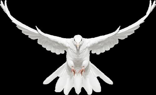 500x304 drawings of doves in flight white dove in flight free clip art