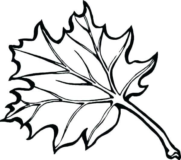 600x531 Fall Leaves Drawing Big Fall Leaf Drawing