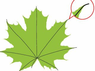 320x240 How To Draw Fall Leaves How To Draw A Fall Leaf Using Adobe