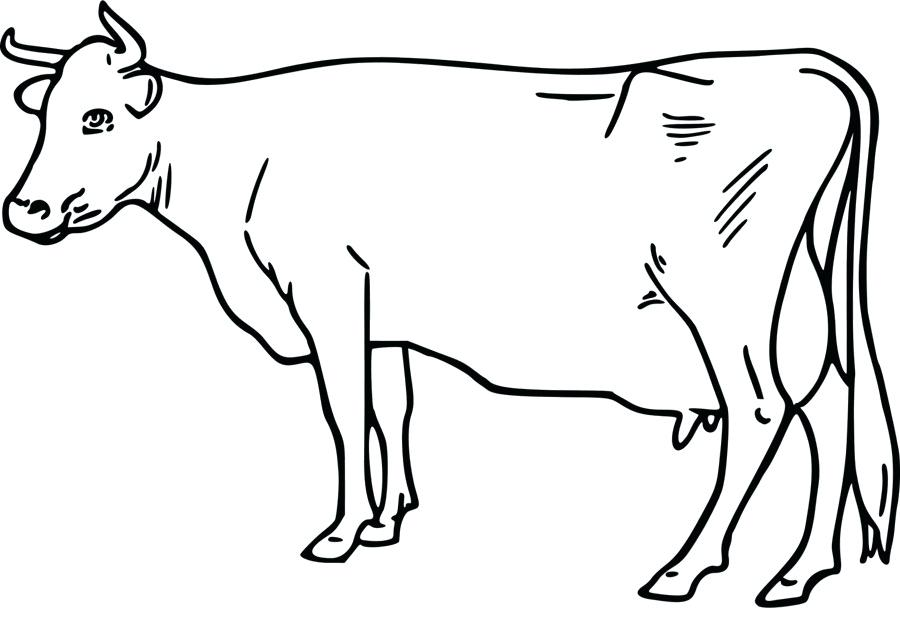 900x620 Drawing Of A Cow How To Draw A Simple Cow Step Drawing Of A Girl