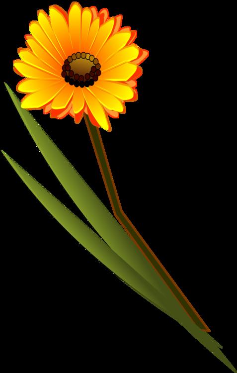 477x750 transvaal daisy flower drawing daisy family common daisy cc0