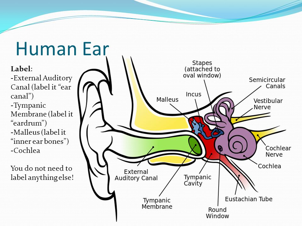 960x720 Ear Diagram Labeled And Functions Human Anatomy Ear Anatomy