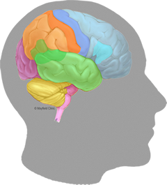 240x265 Brain Anatomy, Anatomy Of The Human Brain