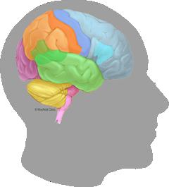 240x265 brain anatomy, anatomy of the human brain