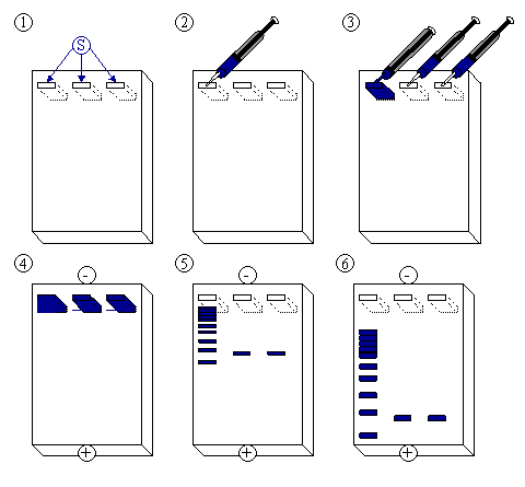 480x445 Schematic Drawing Of The Electrophoresis Process Download