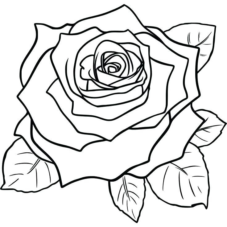 736x736 Simple Roses Drawings