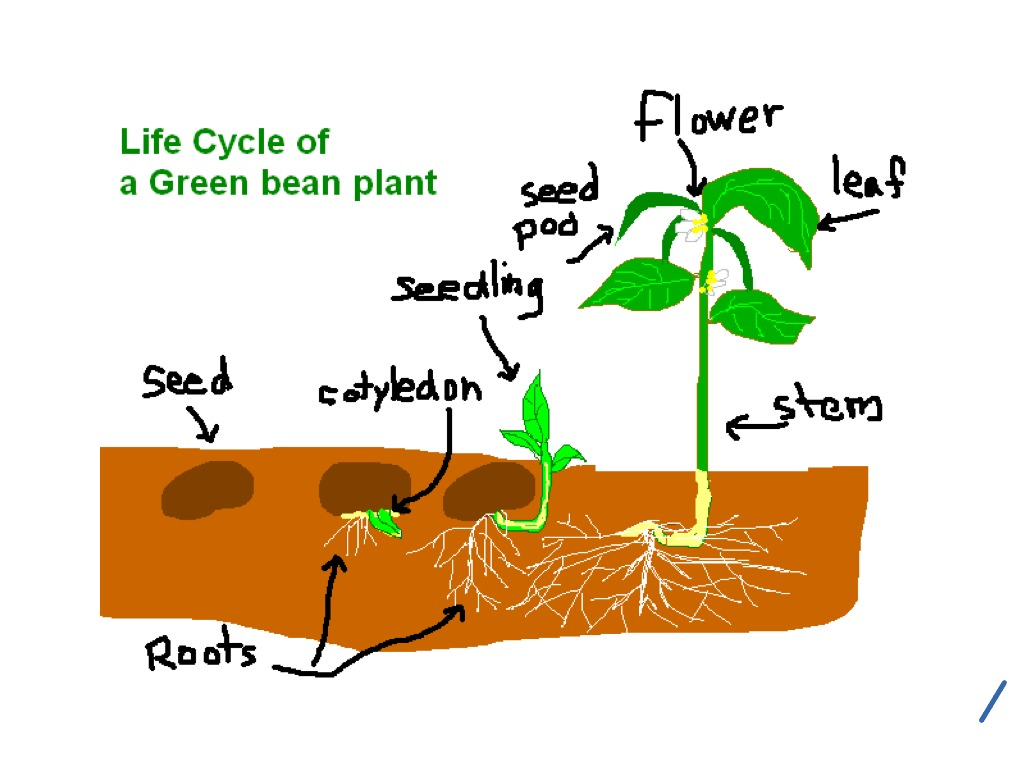 1024x768 life cycle of a green bean plant life cycle showme