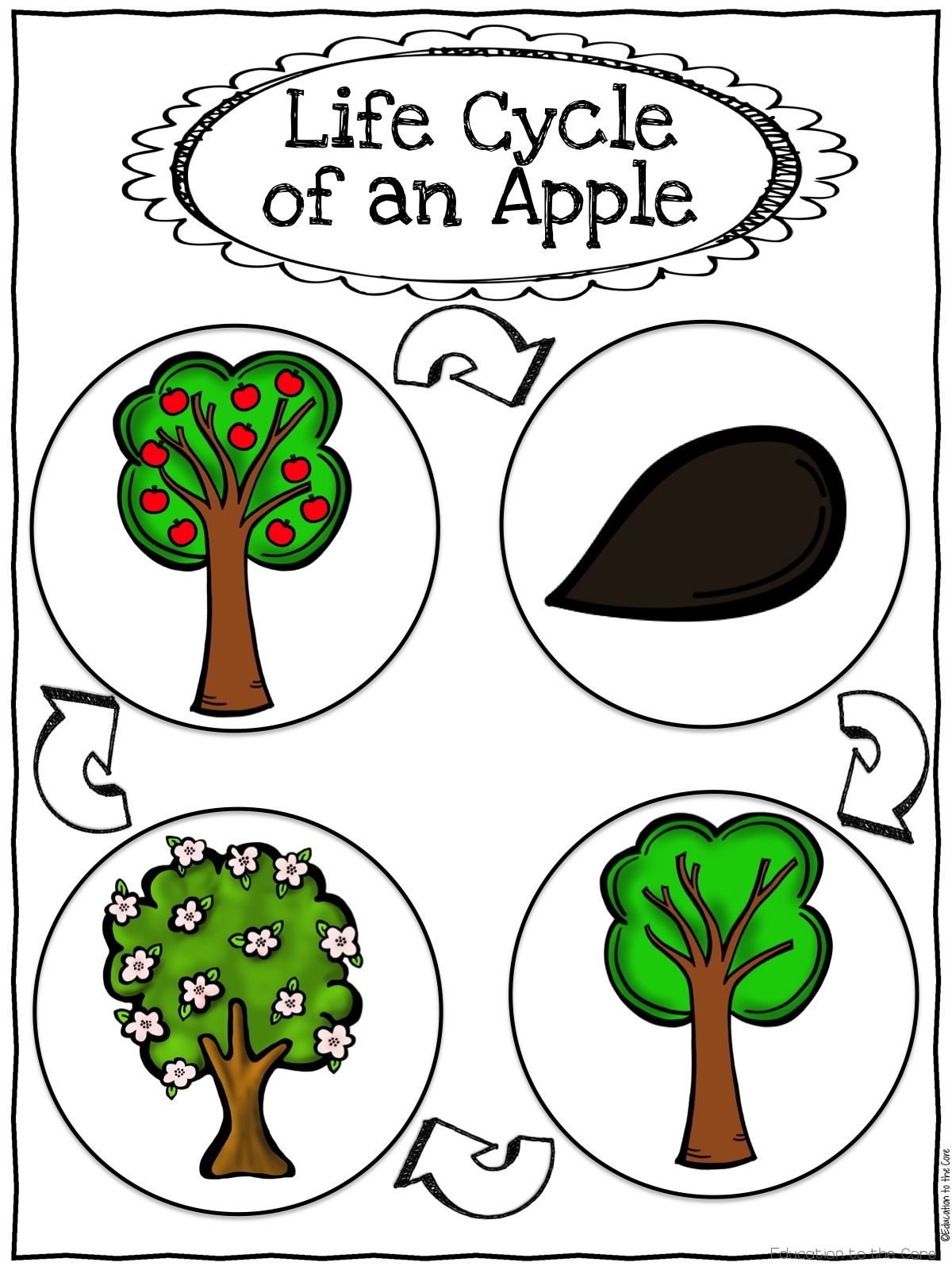 1200x1600 Apple Life Cycle Activities For Kindergarten And First Grade Tpt