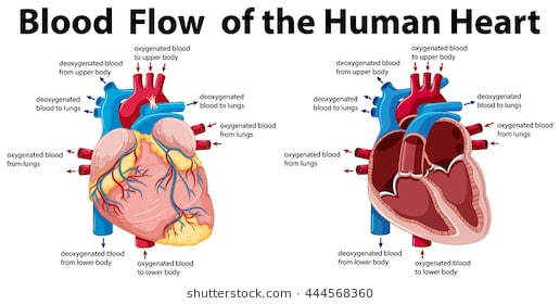 516x280 human heart simple diagram lovely human heart drawing easy path