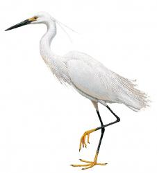 Egret Drawing Free Download Best Egret Drawing On
