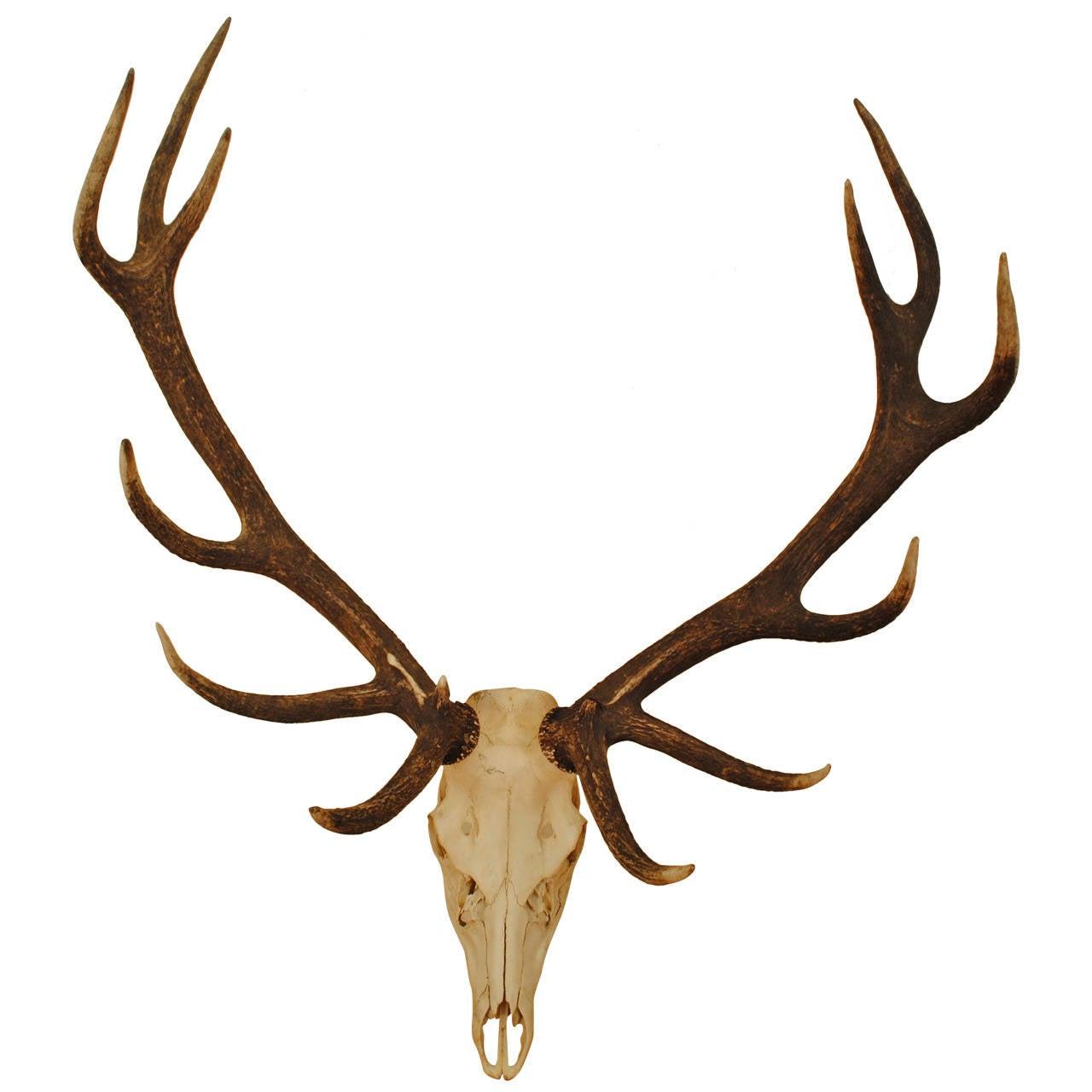 1280x1280 European Elk Skull Mount