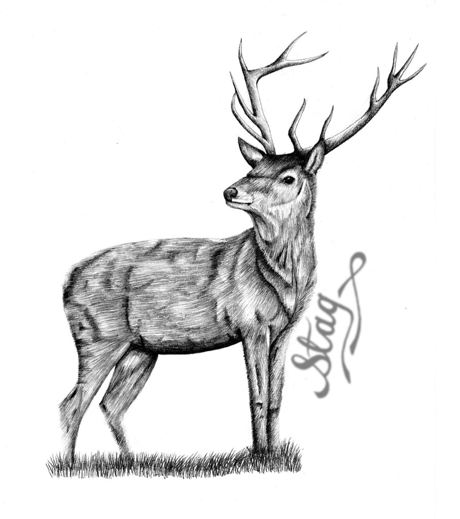 907x1024 stag drawing a drawing of a stag using and pencils