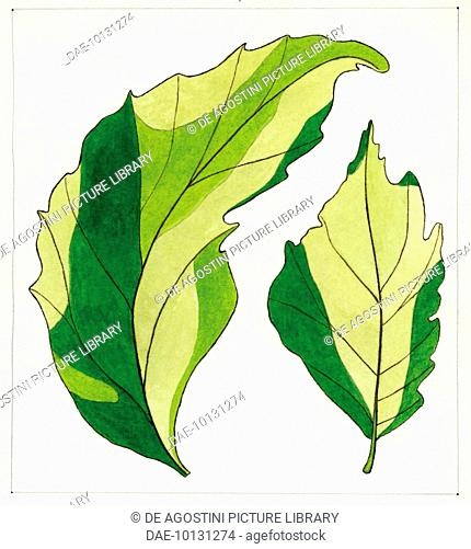 430x501 elm tree white background stock photos and images age fotostock