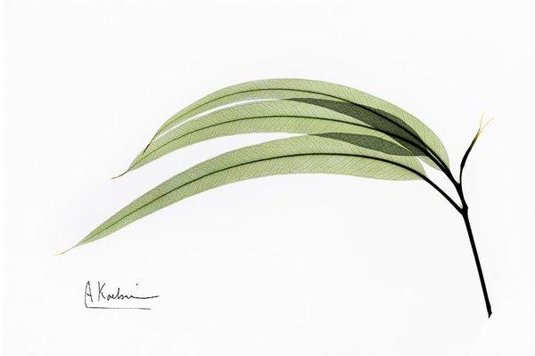600x400 Eucalyptus Leaves Photograph