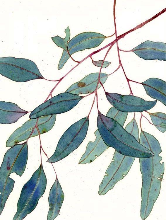 567x751 Gum Leaves Botanical Art Art, Watercolor Art, Watercolor Leaves