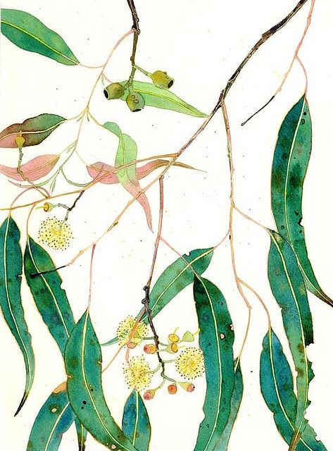 473x640 Eucalyptus Leaves And Flowers In Tats Botanical Art