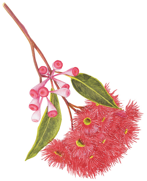506x620 An Illustrated Guide To Australia's Gum Blossoms