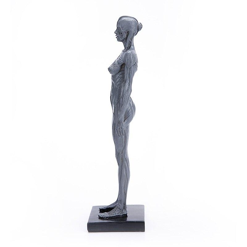 800x800 Natural Resin Human Female Artwork Model Medical Muscle