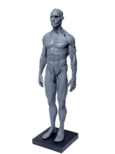 375x500 tamtom human body muscle model medical model human anatomy