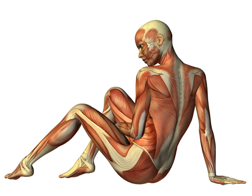 500x389 The Female Body Has Muscles