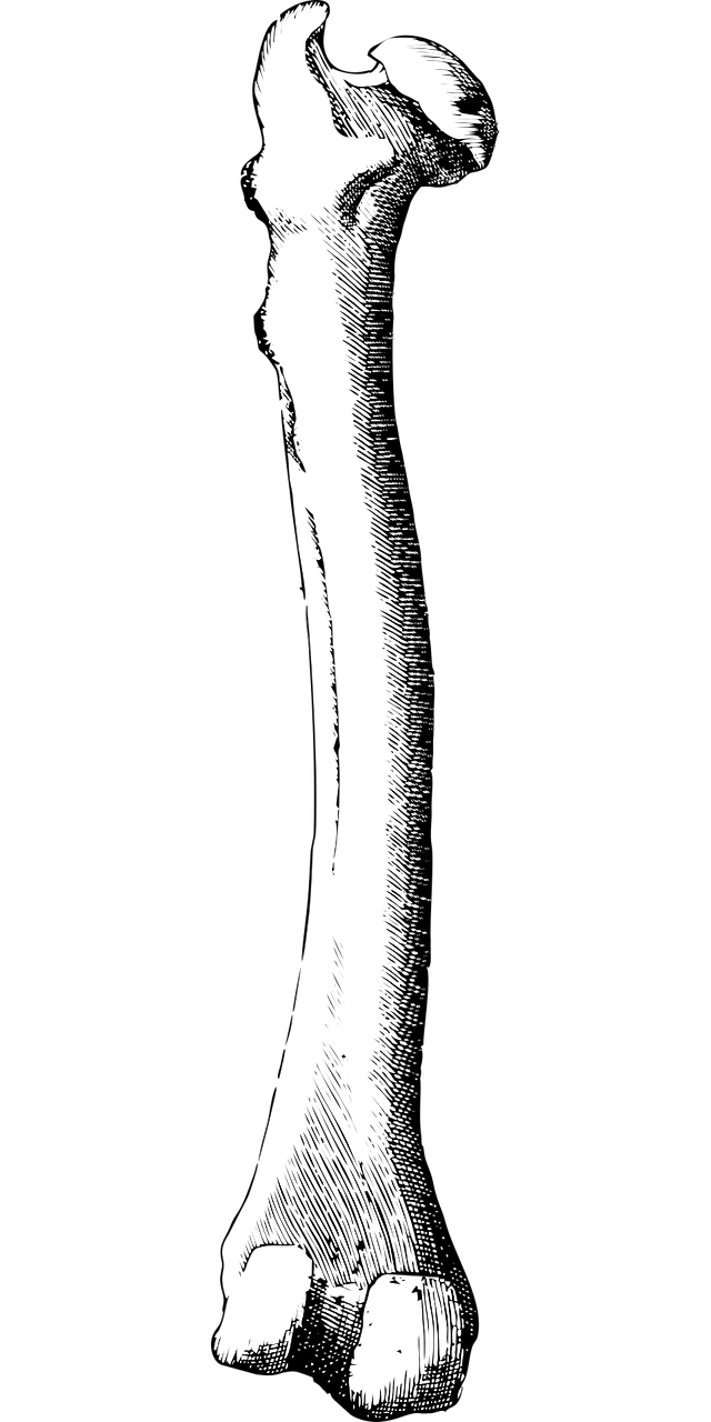 640x1280 bone, leg bone, femur, human, medical