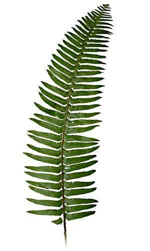 300x500 sword fern mallory brett in sword fern, fern tattoo, ferns