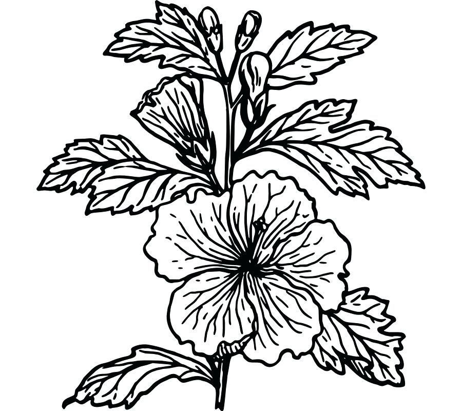 900x800 hibiscus flower sketches hibiscus flower drawing art print how