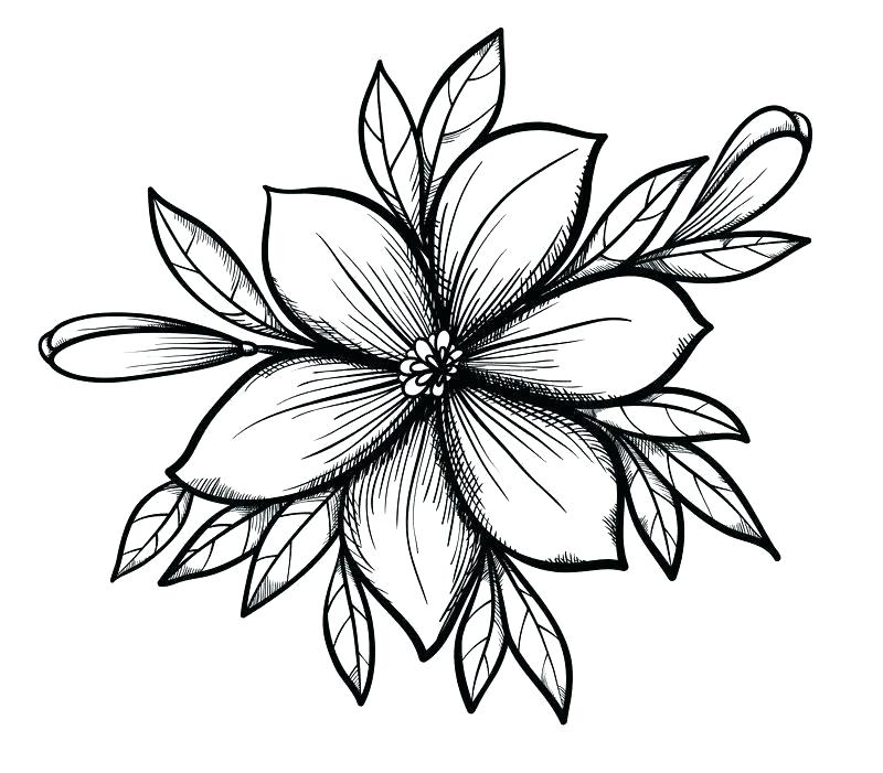 800x701 How To Draw Lilly Flower How Flower Drawing Lily To Draw Flowers