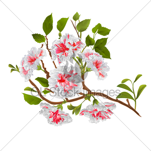 500x500 Branch White Hibiscus Tropical Flowers On A White Backgro Gl