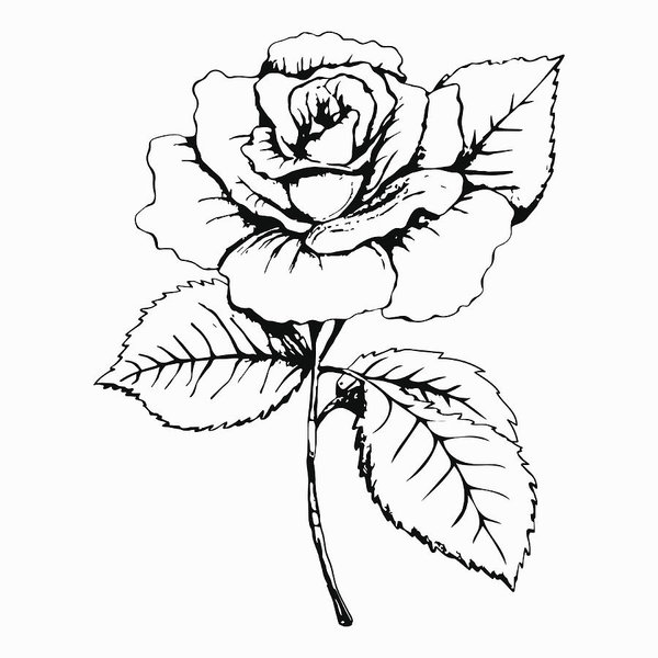 600x600 Flower Rose, Sketch, Painting Hand Drawing White Bud, Petals