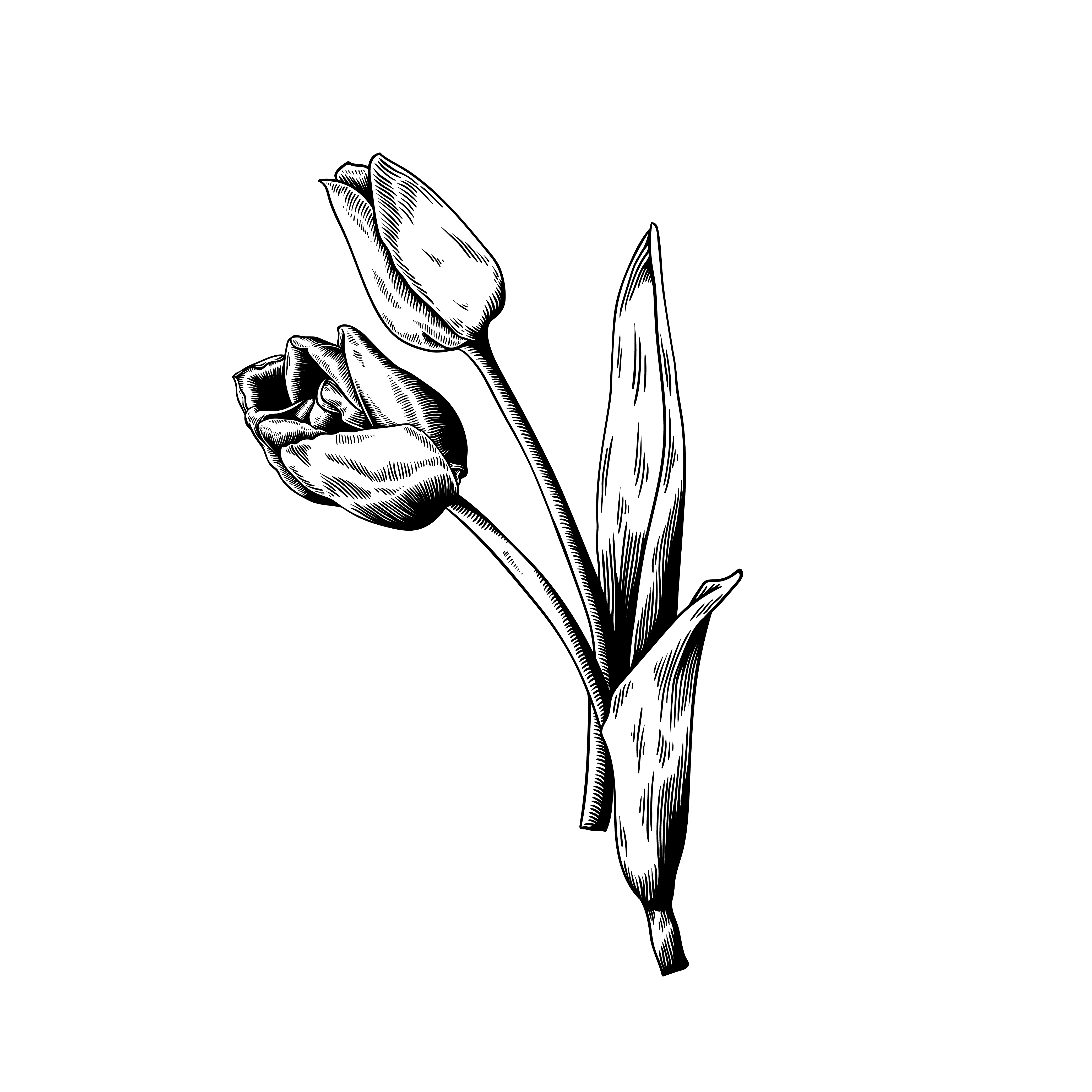 4167x4167 Tulip Drawing Flower Nature Vector Icon On White Background