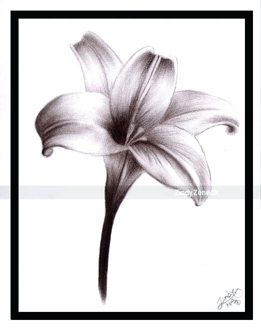 520x654 Lilly Flower Drawing Flower Drawing Lily Download Free Transparent