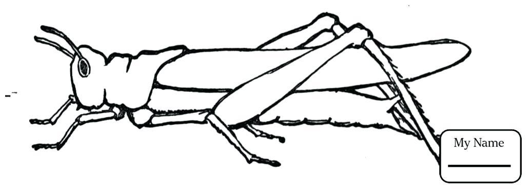 1035x368 draw a grasshopper grasshopper drawing growing draw grasshopper