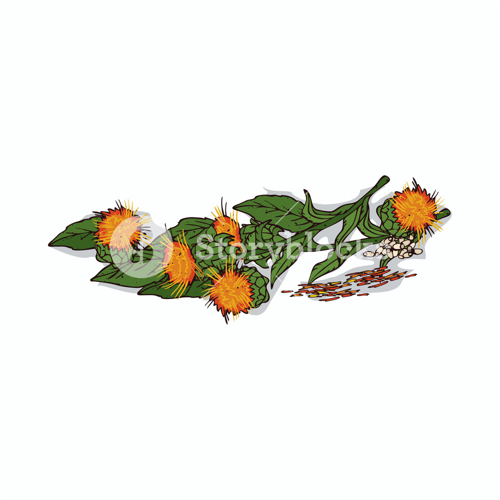 1000x1000 Isolated Clipart Of Plant Safflower On White Background Botanical