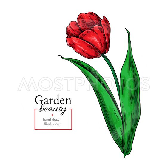 563x563 Tulip Red Flower And Leaves