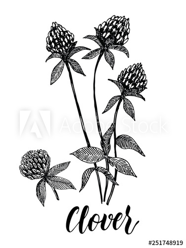 376x500 Clover Flower Vector Drawing Set Isolated Wild Plant And Leaves