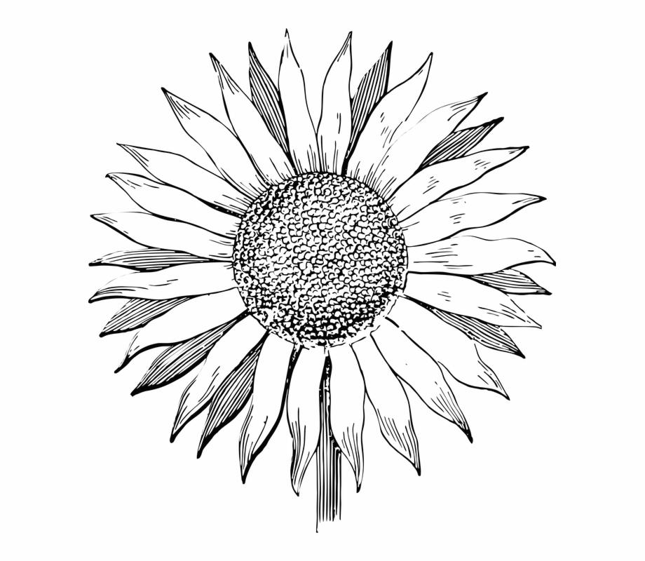 920x800 Sunflower Flower Line Art Summer Floral Vintage