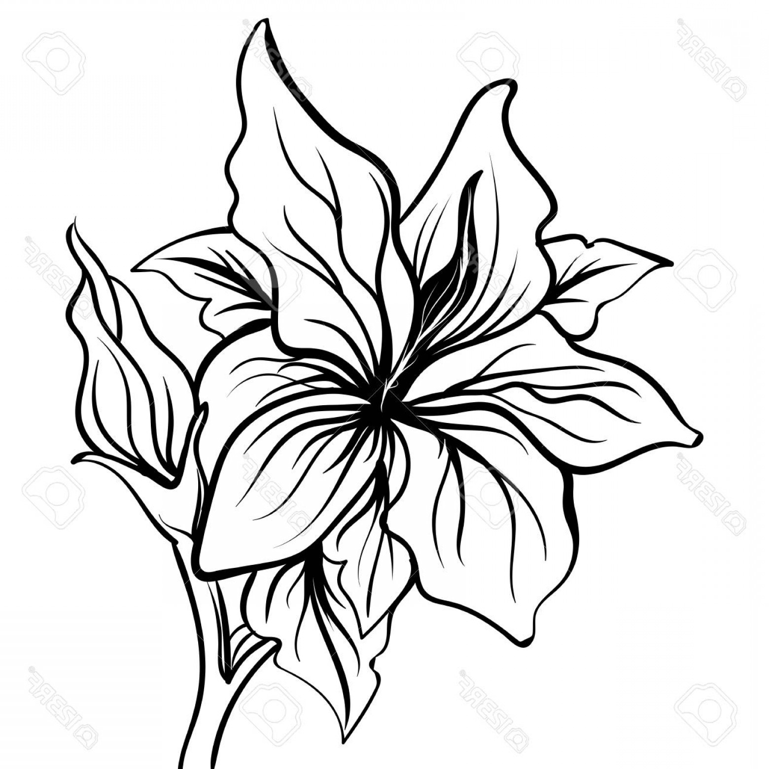 1560x1560 Photostock Vector Lily Sketch Drawing Of A Flower Lily Flower Hand