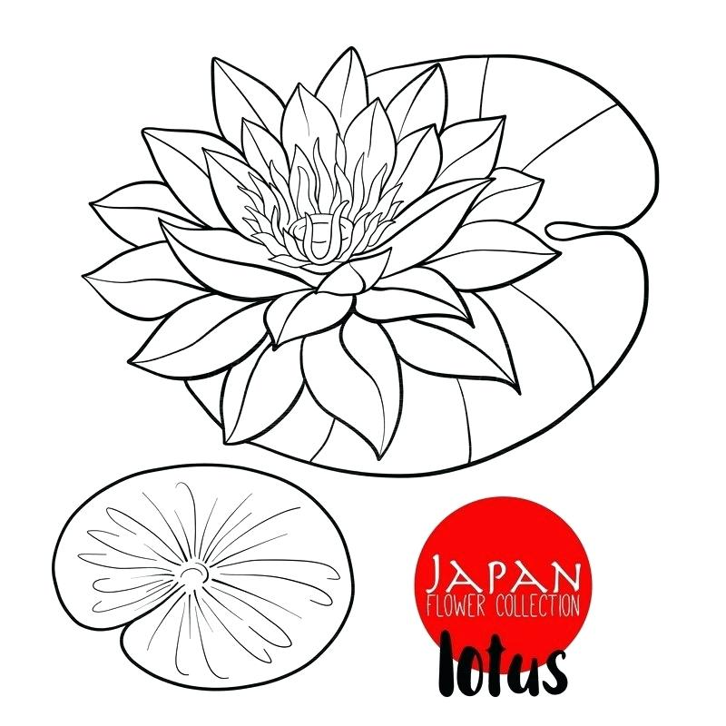 800x800 Lotus Flower Outline Drawing Zupa