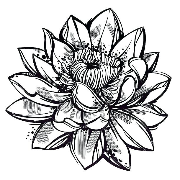 610x610 Drawing Lotus Flower Drawing Lotus Flower Pink