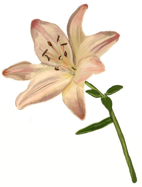 472x620 Lily Flower Drawing Drawing Lilies Drawing, Drawings, Flower