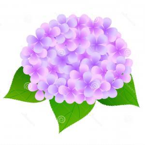 300x300 Vector Drawing Outline Hydrangea Hortensia Flower Bunch Pastel