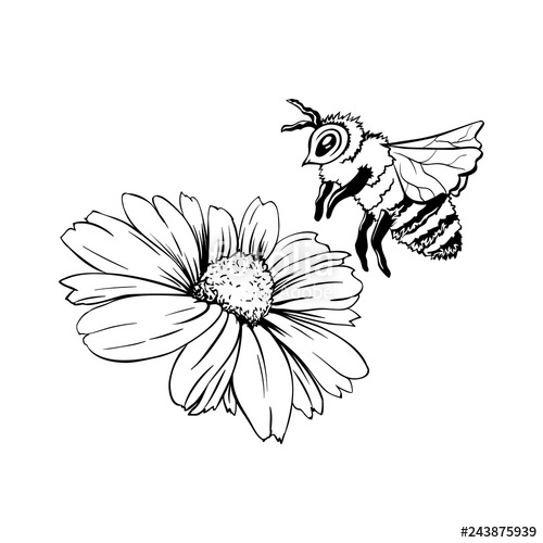 500x500 Chamomile Bud And Bee Pollination Hand Drawn Ink Pen Illustration