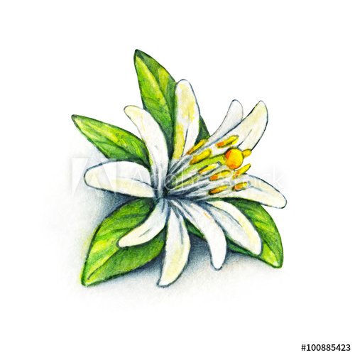 500x500 white flower orange fruit with green leaves orange blossom