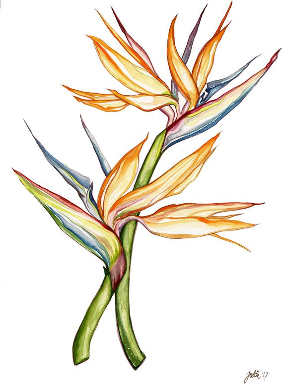 570x779 birds of paradise, bird of paradise painting, watercolor birds