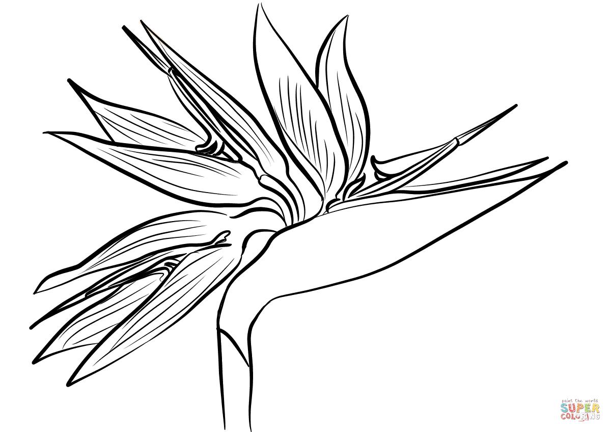 1200x848 Bird Of Paradise Flower Drawing And Interesting Ideas Bird