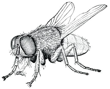 429x348 Drawing Of A Fly How To Draw A Fly For Kids Step Flying Jatt