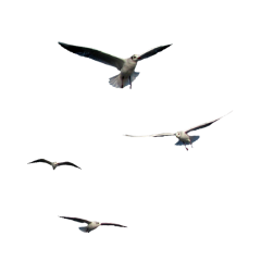 240x240 Flying Seagull Transparent Png Clipart Free Download