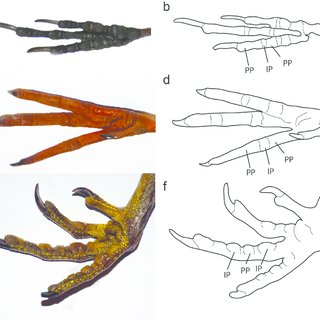 320x320 examples of modern bird foot morphology photographs and line