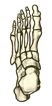 216x439 diagram of foot bones diagram of foot bones